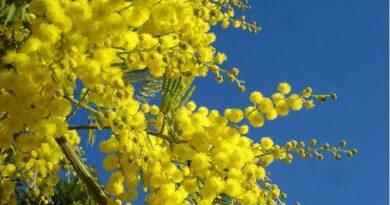 mimose sicilia caldo